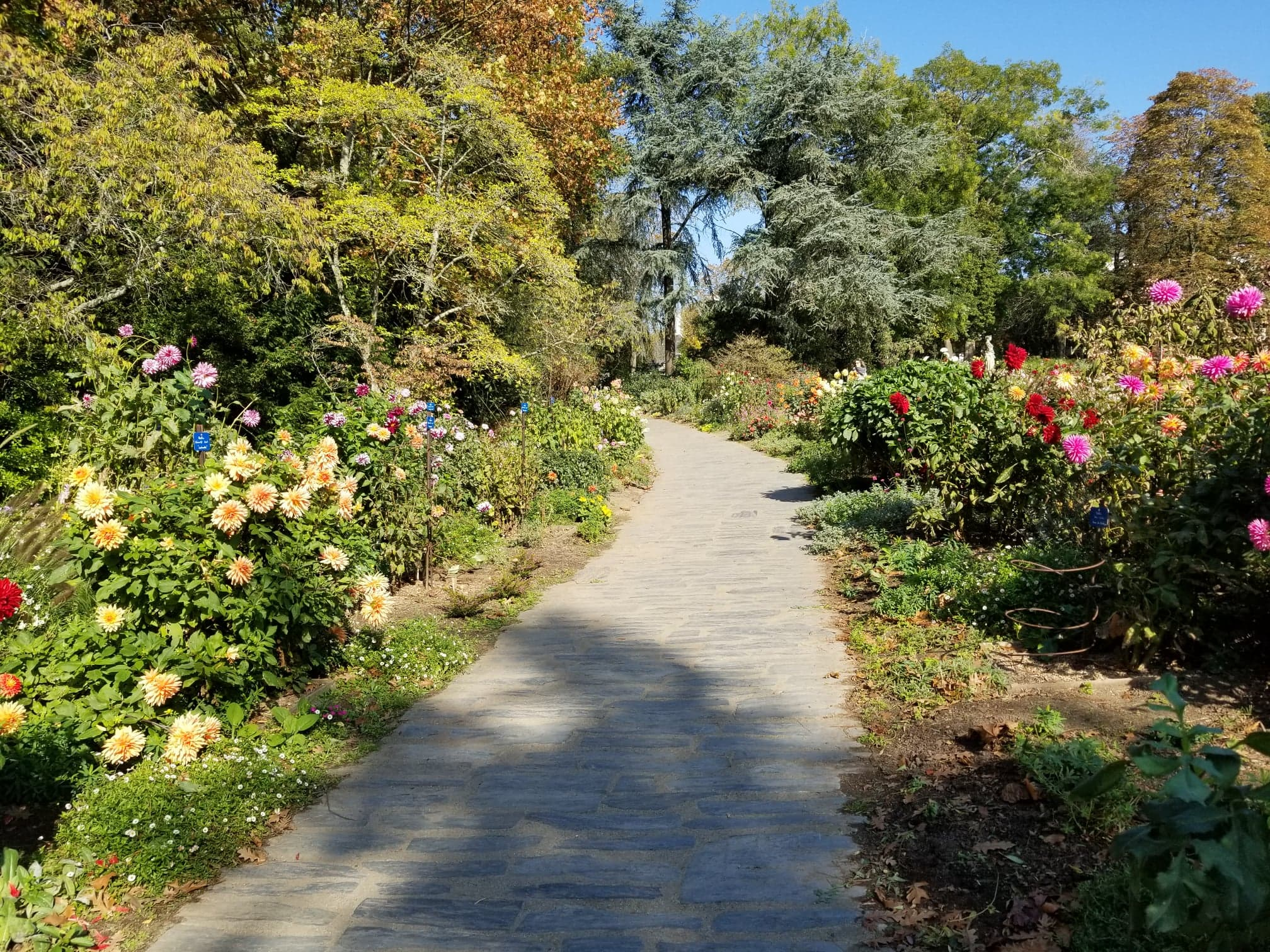 A pathway with different colors and varieties of dahlias surrounding it