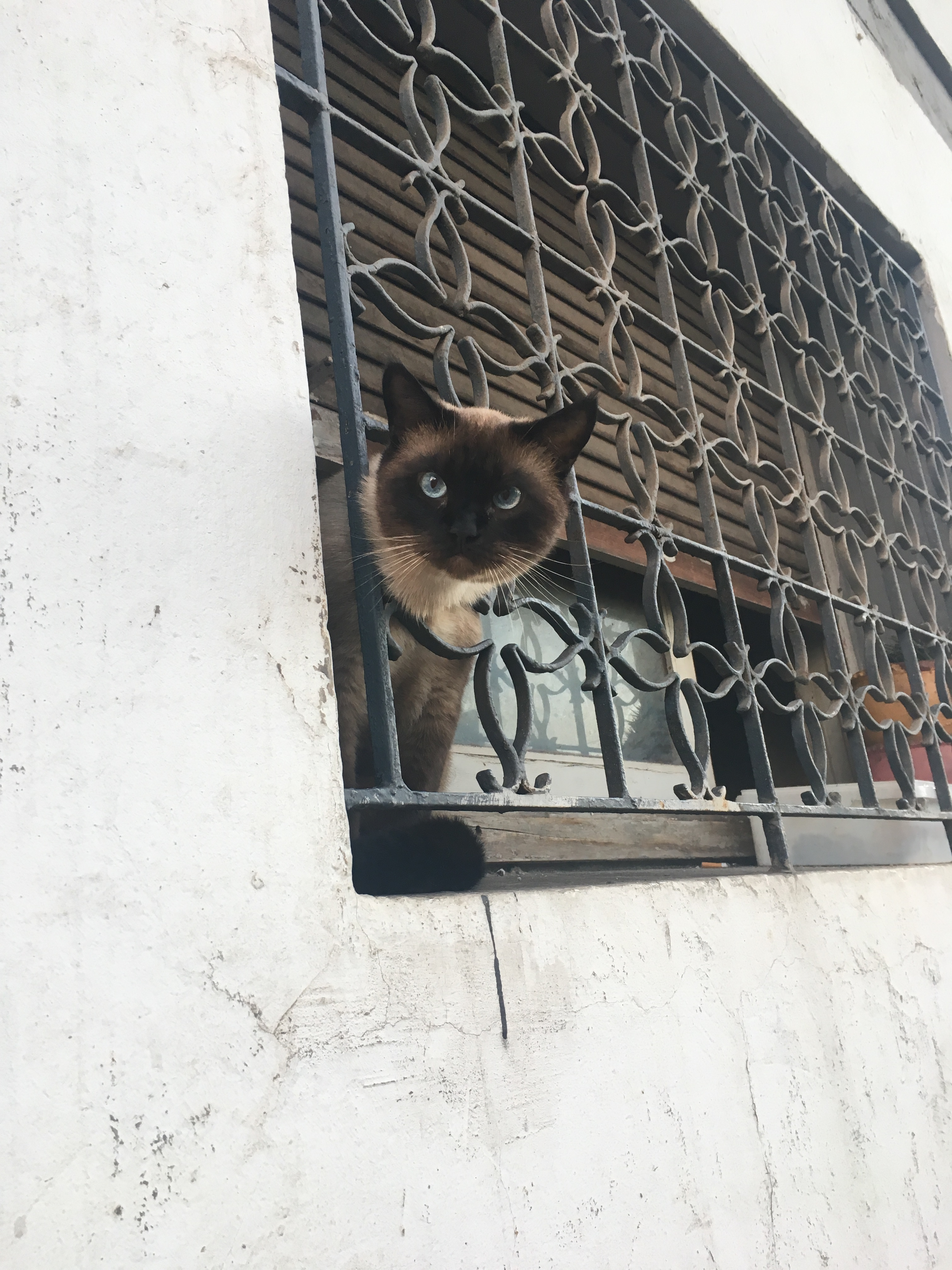 A Siamese cat looks out of a window