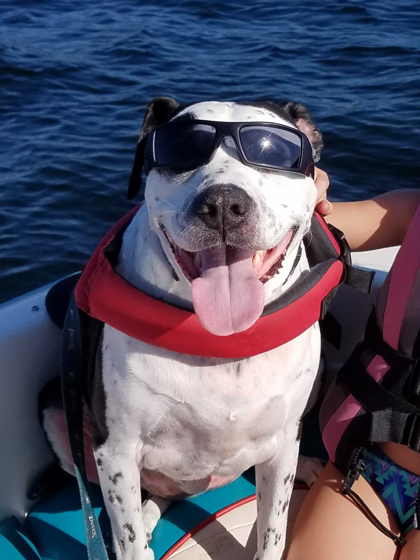 Dog sitting on boat with sunglasses on