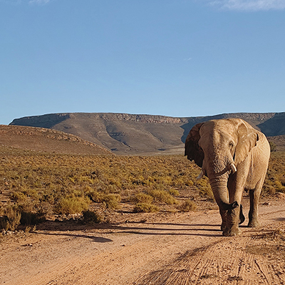 Elephant walking on path with mountain in background