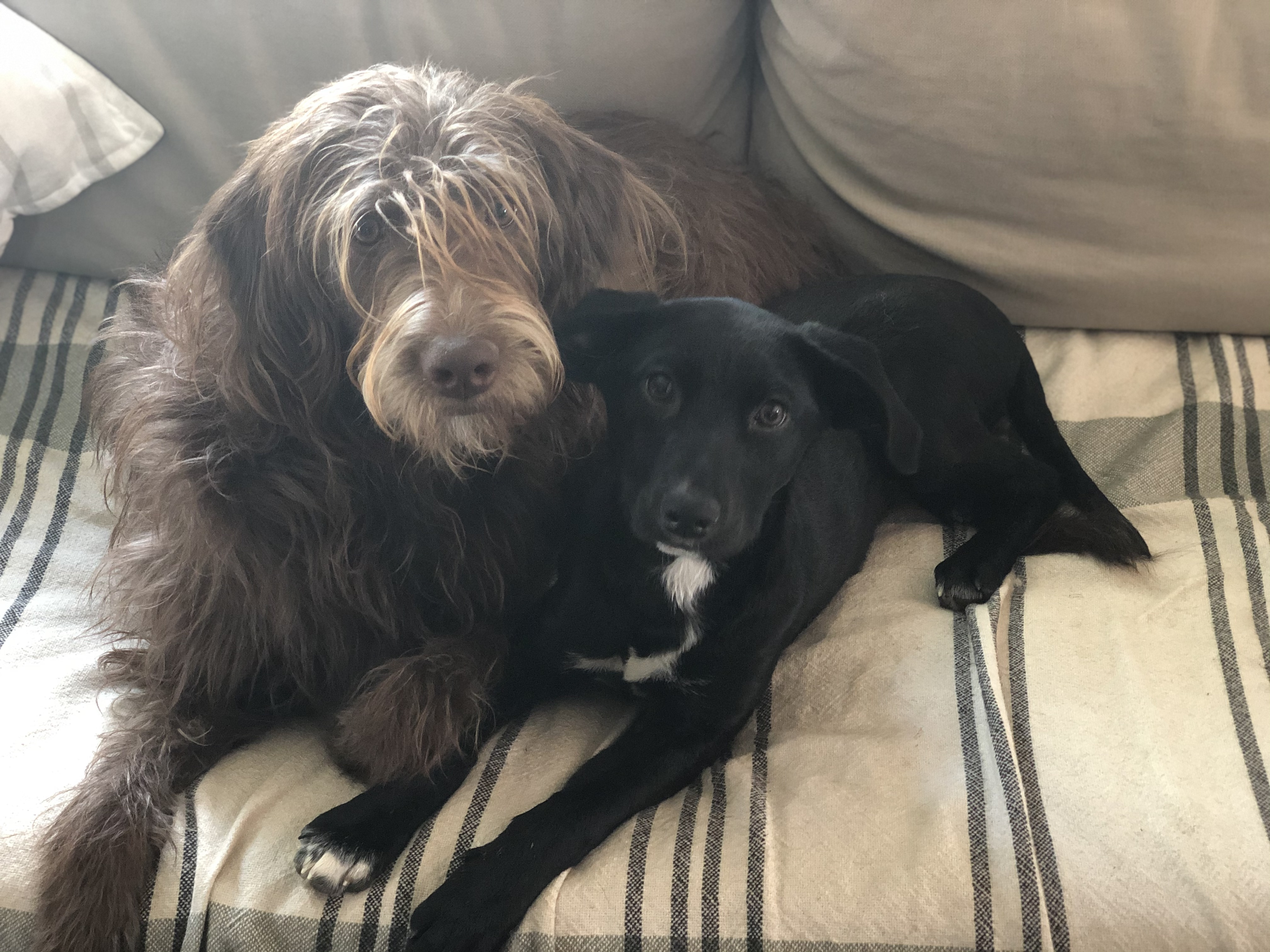 Two dogs sitting on couch together