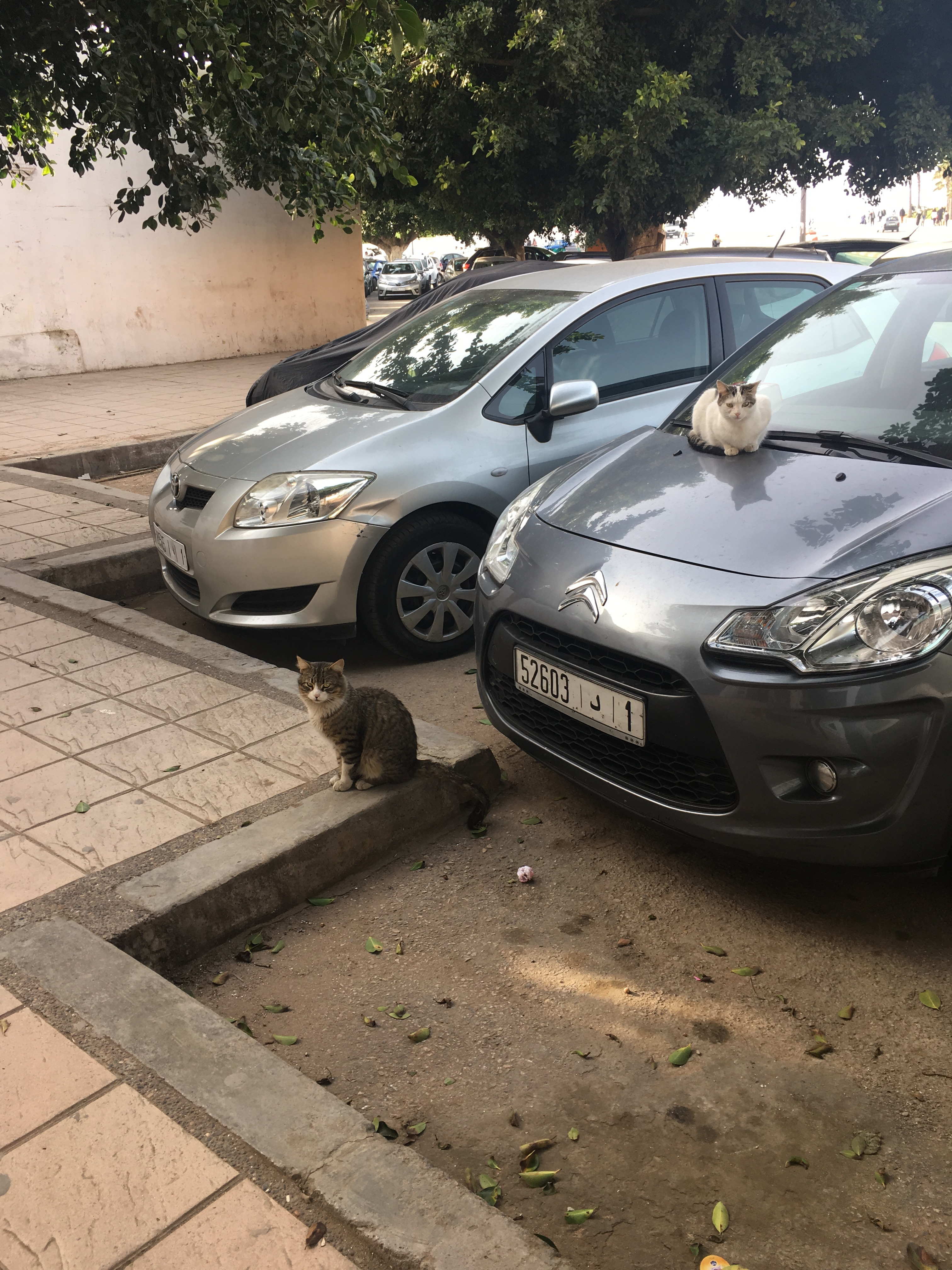 Cats in a parking lot, on cars, making themselves at home