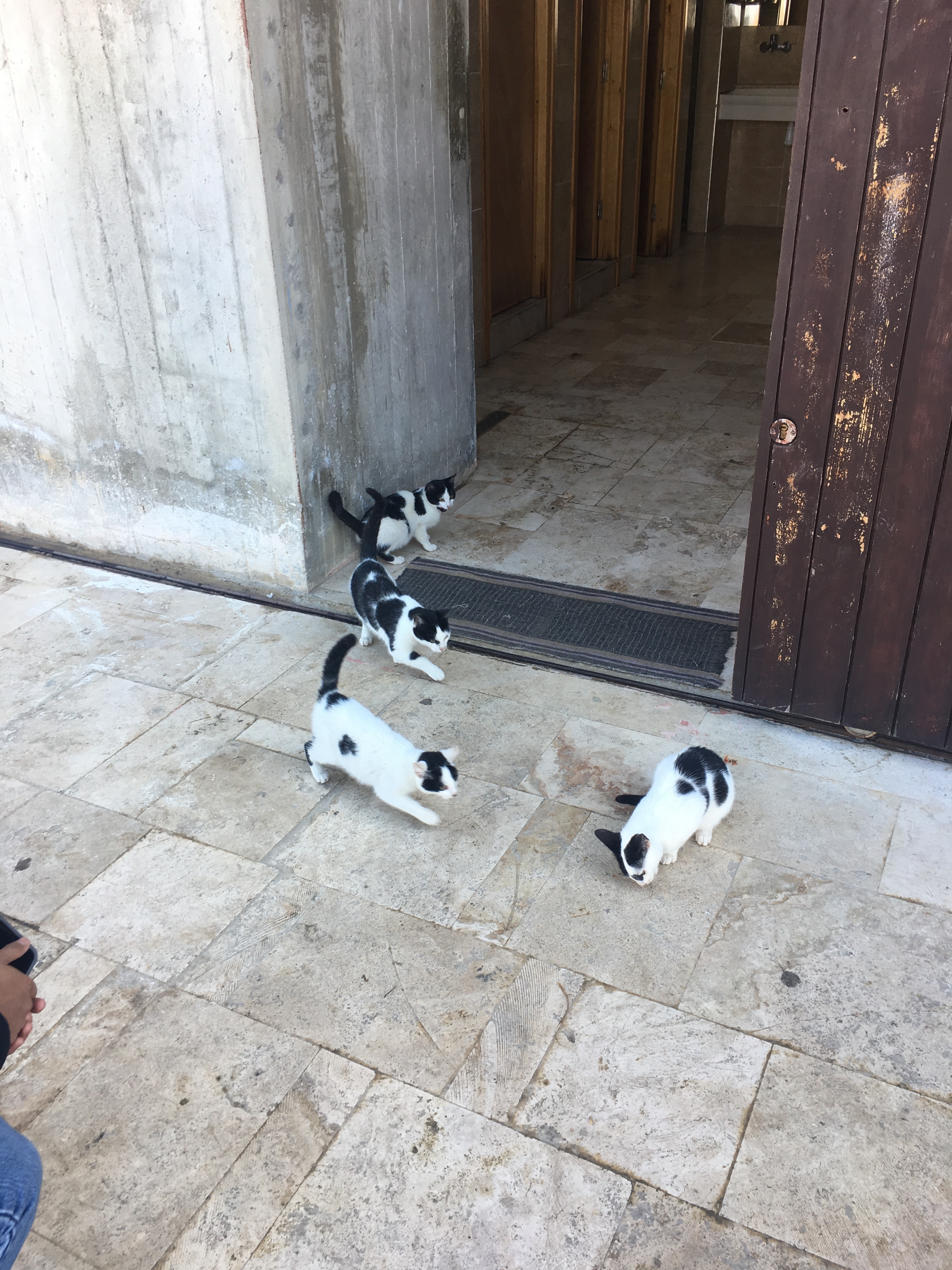 A herd of black and white kittens
