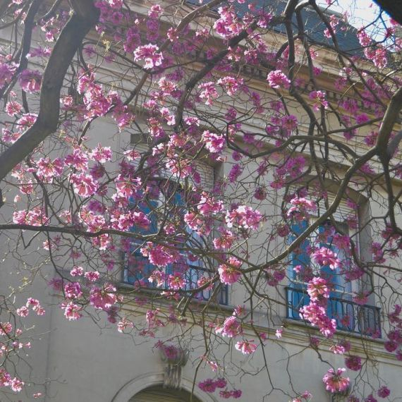 Tree blooming in Buenos Aires