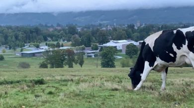 A picture of a cow grazing on a hill in Williamstown, MA.