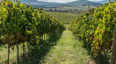 Vineyards outside Siena