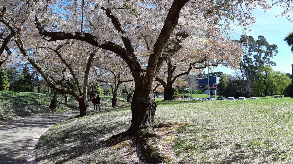 University of Canterbury Campus, trees in bloom