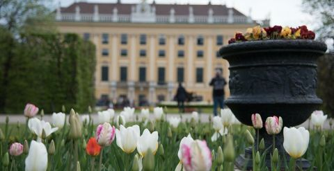 schonbrunn palace in vienna with tulips in foreground