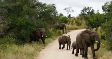 Elephants crossing in Kruger National Park