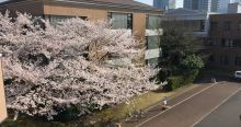 A large bloomed cherry blossom tree on the KUIS campus
