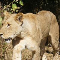 Lion spotted in second safari in Botswana