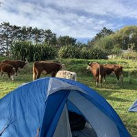 Cows by tent