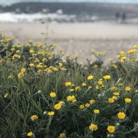 Yellow flowers along the Rabat beach